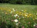 Rozkvetlá louka ve Zlaté Olešnici, 5.června 2004