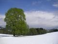 Strom na Čermákových Rovních, 8.května 2005