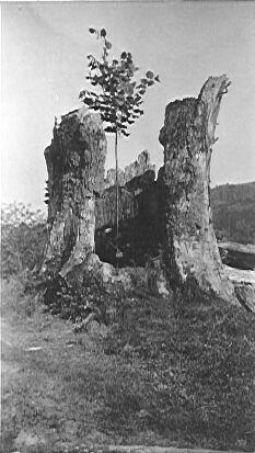 Památná Manďova lípa, stávala u č.p. 48